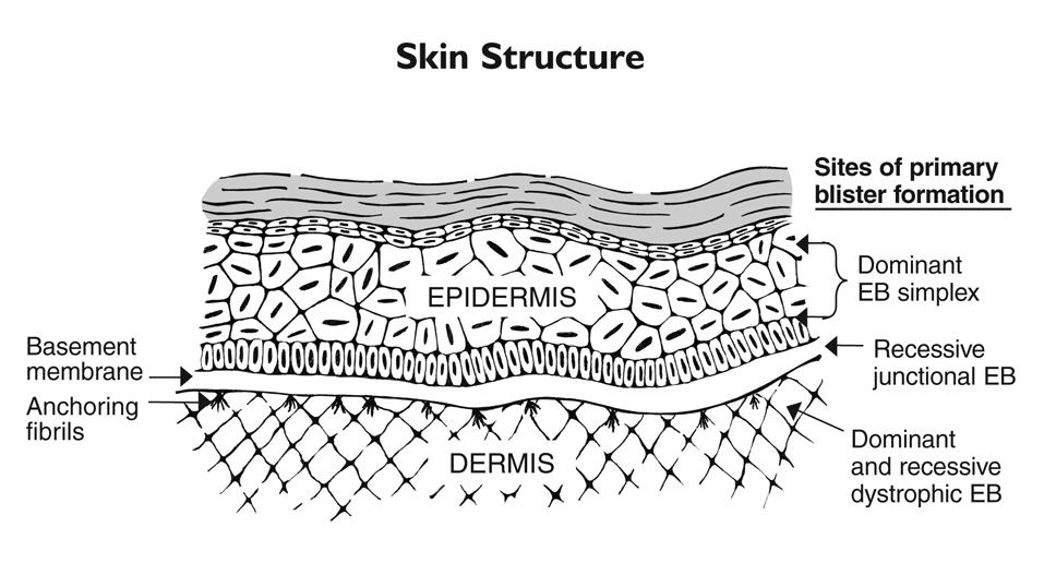 skin_structure